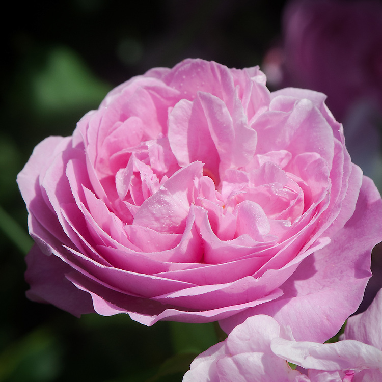Rosa 'Louise Odier', late June. A repeat-flowering, warm pink Bourbon shrub rose, bred by Margottin, 1851.