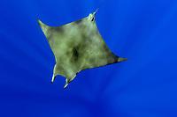 Lesser devil ray, Mobula hypostoma, Princess Alice Bank, Azores, Atlantic Ocean, Portugal