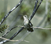 Costa's Hummingbird, Female - Calypte costae