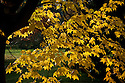 Autumn foliage of Cappadocian or Caucasian maple (Acer cappadocicum 'Rubrum'), early November.