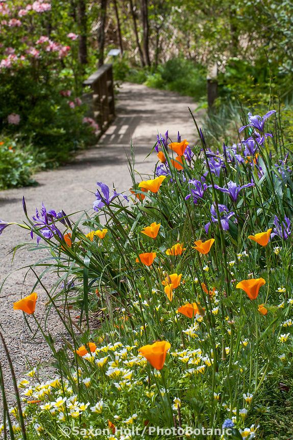 California poppies, Iris and Meadowfoam wildflowers by path in Menzies Garden of California native plants; San Francisco Botanical Garden