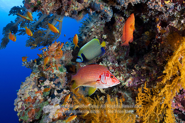 TG0158-D. fish congregate under a ledge on the reef, including Sabre Squirrelfish (Sargocentron spiniferum), Emperor Angelfish (Pomacanthus imperator), Coral Grouper (Cephalopholis miniata), and the smaller Scalefin Anthias (Pseudanthias squamipinnis). Egypt, Red Sea.<br /> Photo Copyright &copy; Brandon Cole. All rights reserved worldwide.  www.brandoncole.com