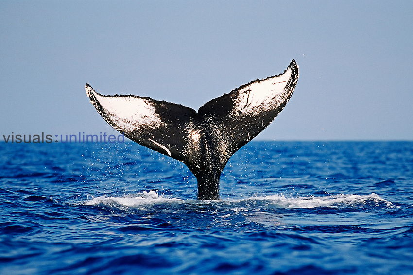 Humpback Whale lobtailing, showing the unique marking and color pattern on the ventral surface of its tail or fluke which can be used to identify each individual whale (Megaptera novaeangliae), Hawaii, Pacific Ocean