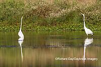 00688-02520 Great Egrets (Ardea alba) in wetland, Marion Co., IL