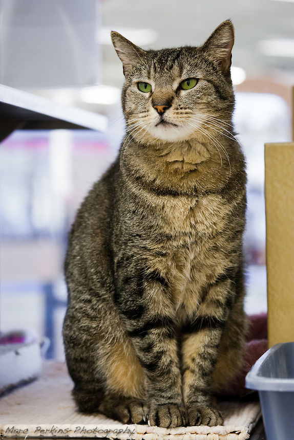 Trista, a three year old female short-haired brown tabby cat with green eyes (and a white chin), standing proud.  Trista has a face that looks somewhat like a mountain lion to me; a bit more elongated than your typical domesticated cat.  Trista is up for adoption at Miss Kitty's Rescue in Costa Mesa, CA.  This picture was taken pro bono for Miss Kitty's Rescue to help them advertise the cats for adoption.