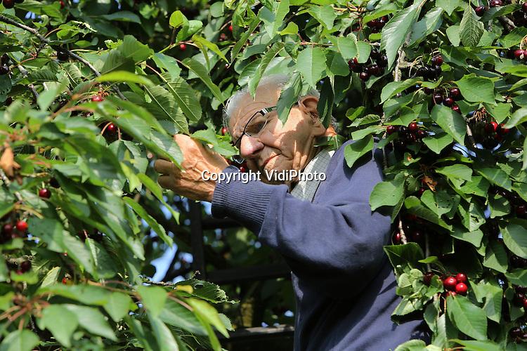 Foto: VidiPhoto<br /> <br /> GENDT - De oudste kersenteler- en plukker van Nederland, Jacob van de Graaf (92) uit Gendt bij Nijmegen, toont dinsdag zijn kunsten. Vlot als een jonge kerel beklimt hij de ladder van zijn hoogstam kersenbomen in de bongerd. De hoogbejaarde fruitboer gaat zelfs nog ieder jaar ski&euml;n in Oostenrijk. Dat heeft hij op z'n 72e geleerd. Voordeel van zijn leeftijd is dat je boven de 80 jaar geen skipas meer hoeft te betalen. Van de Graaf heeft een klein fruitteeltbedrijf en is van plan daarmee door te gaan zolang zijn gezondheid dat toelaat.