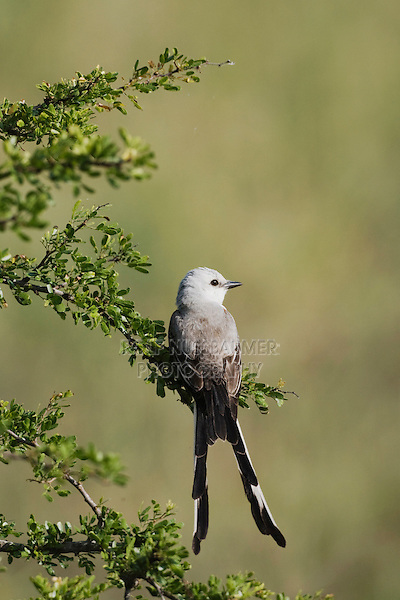 Scissor-tailed Flycatcher (Tyrannus forficatus), Sinton, Corpus Christi, Coastal Bend, Texas, USA