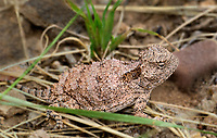 437580002 a juvenile hernandezs short-horned lizard phrynosoma hernandesi hernandesi sits among grasses in catron county new mexico