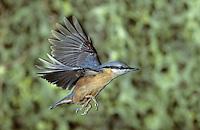 Kleiber, im Flug, Flugbild, fliegend, Spechtmeise, Sitta europaea, Eurasian nuthatch