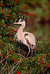 Great blue heron, Venice, Florida