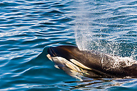 killer whale, or orca, Orcinus orca, spouting, blowing, surfacing with a prey of common dolphin, Delphinus delphis, in its mouth, Baja California, Mexico, Gulf of California, or Sea of Cortez, Pacific Ocean