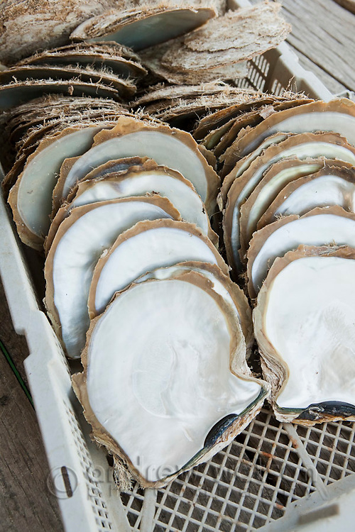 Pearl oyster shells harvested at Kazu Pearls.  Friday Island, Torres Strait Islands, Queensland, Australia