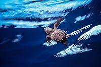 Kemp's ridley sea turtle hatchling, Lepidochelys kempii ( endangered ), in open ocean off nesting beach, Rancho Nuevo, Mexico ( Gulf of Mexico ), Atlantic Ocean