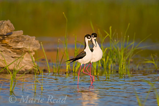 Black-necked Stilts (Himantopus mexicanus), pair walking close together during post-copulatory behavior, Orange County, California, USA