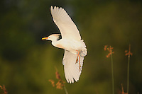 Cattle Egret (Bubulcus ibis), adult in flight, Fennessey Ranch, Refugio, Coastal Bend, Texas Coast, USA