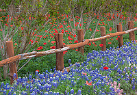 Gillespie Couty Texas Hill Country: Fence line with bluebonnets and red poppies at Wildseed Farms near Fredericksburg