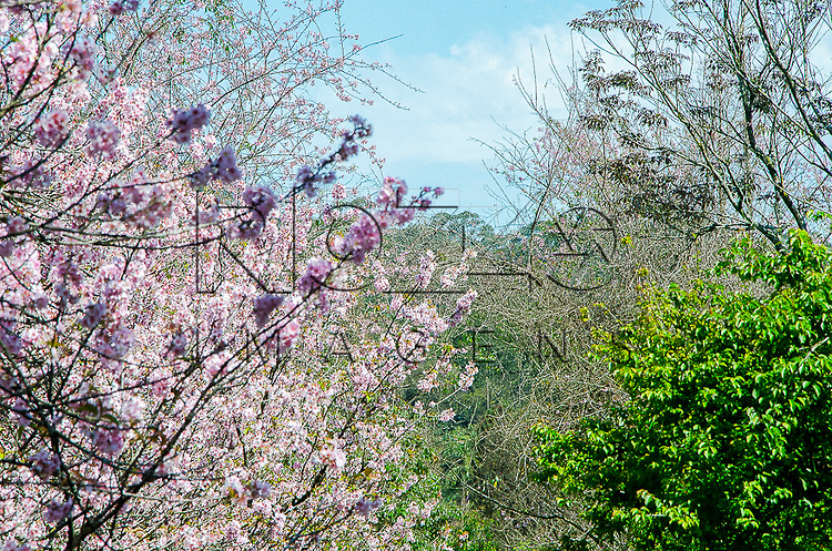 Cerejeiras floridas no Bosque das Cerejeiras - 35ª Festa das Cerejeiras no Parque do Carmo, São Paulo - SP, 08/2013.