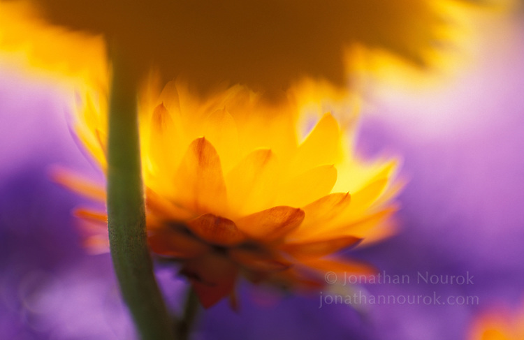 close-up of strawflowers