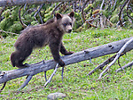 A grizzly bear cub plays on a fallen, dead tree in Wyoming.