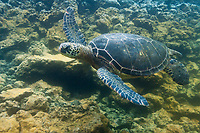 Galapagos Green sea turtle, Isabella Island, Galapagos Islands, Ecuador.