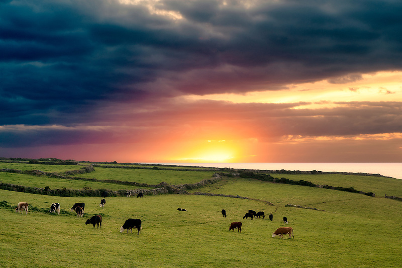 Cows in pasture in cornwall, near Gurnard's Head, England.