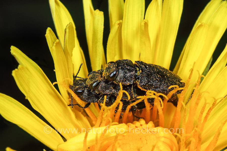 Vierpunktiger Kiefernprachtkäfer, Vierpunktiger Kiefern-Prachtkäfer, Vierpunkt-Kiefernprachtkäfer, Vierpunkt-Nadelholzprachtkäfer, Anthaxia quadripunctata, Anthaxia quadrimaculata, Melanthaxia quadripunctata, Metallic wood-boring beetle