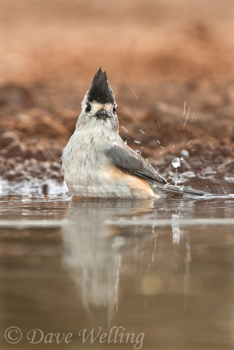 582060030 a wild black-crested titmouse baeolophus atricristatus perches at a small pond on santa clara ranch hidalgo county rio grande valley texas united states