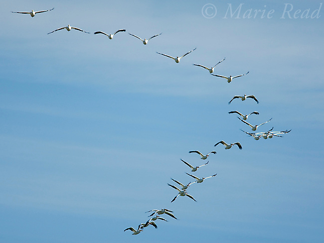 American White Pelicans (Pelecanus occidentalis) flock in flight, Sonny Bono Salton Sea National Wildlife Refuge, California, USA