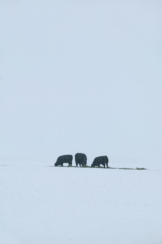 Cows eating dropped hay in snowy field. Near Joseph, Oregon