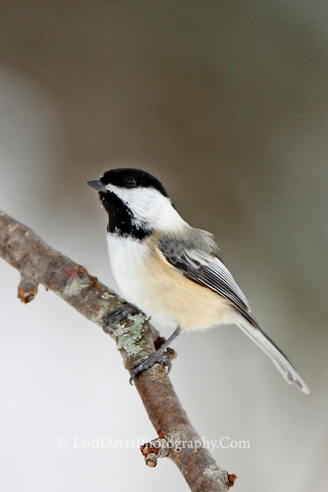 Black Capped Chickadee   #B10