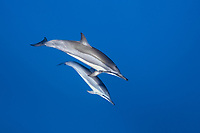 Hawaiian spinner dolphin, or Gray's spinner dolphin, Stenella longirostris longirostris, mother and calf, Lanai, Hawaii, USA, Pacific Ocean
