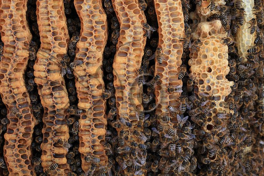 Les rayons parallèles dans une ruche naturelle sont construits de haut en bas et en liberté les abeilles Apis mellifera batissent généralement sept rayons cote à cote.///The parallel aisles in a hive are built from top to bottom, and generally, in nature, the Apis mellifera bee builds seven aisles one next to the other.