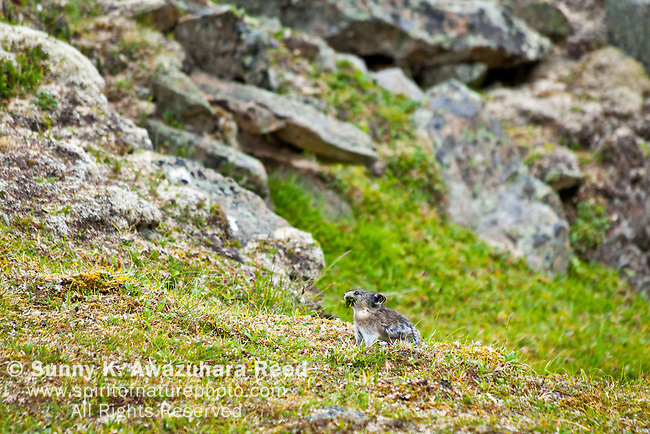 Pika chewing on fresh greens, Wrangell - St. Elias National Park & Preserve, Southcentral Alaska, Summer.
