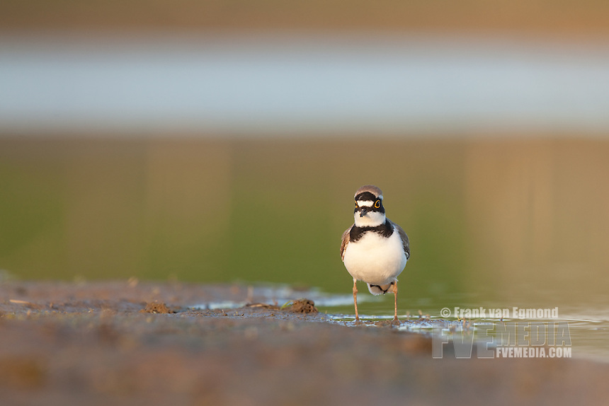 Little Ringed Plover (Charadrius dubius). Liendense waard, Muese river, The Netherlands.