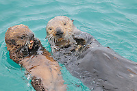 Alaskan or Northern Sea Otter (Enhydra lutris) mother sharing solid food--crab-- with her pup.