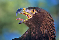 521099057 a wildlife rescue female golden eagle aquila chrysaetos calls out from a perch in its enclosure at a wildlife rescue facility - species is federally threatened  -  hatari