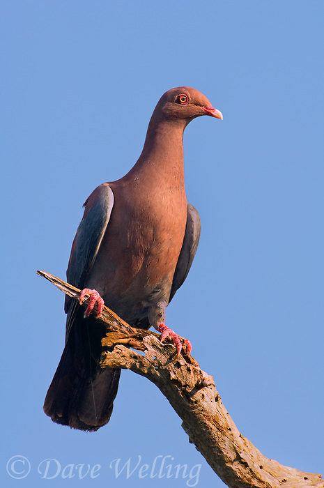 571180017 a wild red-billed pigeon columba flavirostris perches on a dead mesquite tree limb on a ranch in tamaulipas state mexico