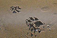 Dog Prints in the Sand