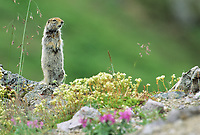 Arctic Ground Squirrel stands in the wildflowers, Denali National Park, Alaska
