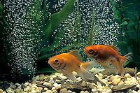 SS04-001x  Bubbles Fan Talied Goldfish
