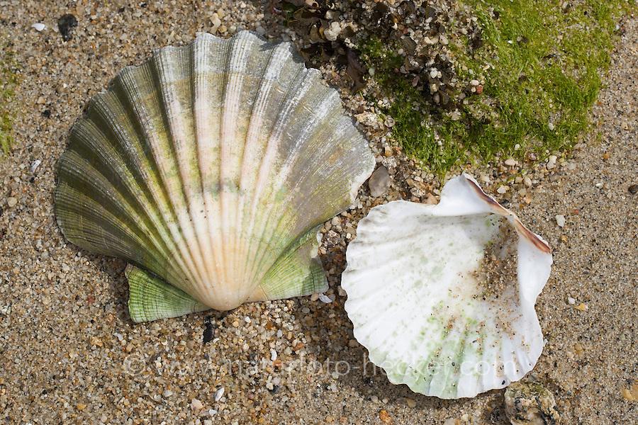 Große Pilgermuschel, Große Kammmuschel, Kammuschel, Pecten maximus, great scallop, king scallop, Coquille Saint Jacques, Muschelschale, Muschelschalen, seashell, seashells, sea shells, shells