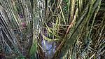 Indonesia, Bali, banyan tree