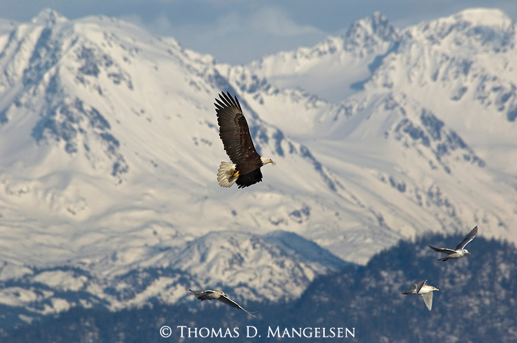 A bald eagle flies near gulls in Homer, Alaska.