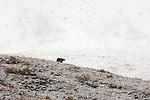 A grizzly bear walks up a hillside in an autumn snowstorm in Denali National Park, Alaska.