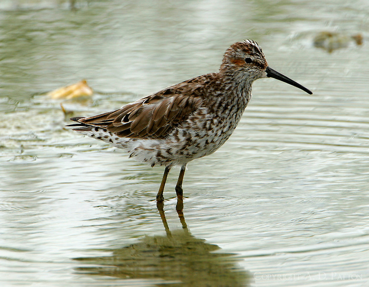 Stilt sandpiper adult breeding at Port Aransas, TX Birding Center pond