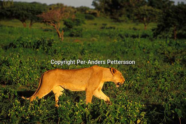 diwllio000115.Wildlife Lions. PHINDA, SOUTH AFRICA: A female lion walks along an open space looking for food as the sun sets on February 17, 2004 in Phinda, an exclusive private game reserve about three hours north of Durban, South Africa. Phinda is a popular attraction for international tourists visiting South Africa and is known for its involvement in the local communities around the park, where they run successful programs to educate the villagers about tourism and many of the people work at Phinda, some managing lodges and work as game rangers. They also have a ranger school that trains people to work on their game reserves..©Per-Anders Pettersson/iAfrika Photos