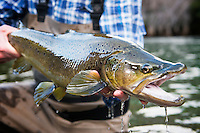 A angler holds a brown trout from the Rio Rivadavia in Andes Mountains of central Patagonia.