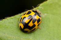Dorsal view of a Fourteen-spotted Lady Beetle (Propylea quatuordecimpunctata)  showing the yellow elytra (wing covers) with rectangular black spots, West Harrison, Westchester County, New York