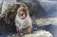 Snow monkeys or Japanese macaque, at Jigokudani Yaenkoen Park.