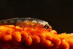 Wire coral Goby , Bryaninops yongei, Lembeh Straits, Sulawesi Sea, Indonesia, Amazing Underwater Photography